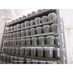 Pot de blanc de semis de morilles (2,5m2)