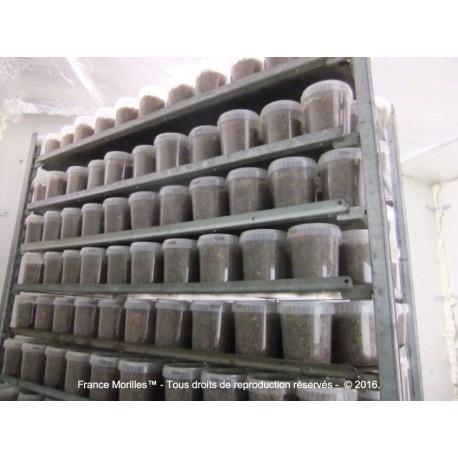 Pot of Morels seeds (2,5m2)